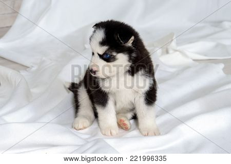Suckling Husky puppy with blue eyes. Great kid dogs. Northern sled Laika at a tender age.