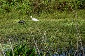 white ibis and glossy ibis wading in the marsh poster