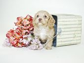 Very sweet cream colored Cock-a-Poo puppy sitting in a tipped over bucket with flowers. poster