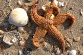 A sea star or star fish sits amongst shells on the beach poster
