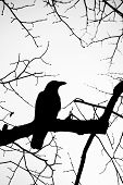 Mysterious raven posed on a tree branch surrounded by many other branches. poster