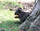 Black squirrel eating wild apple in the forest. poster