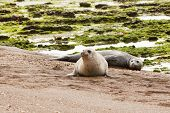 Pair of seals at the beach of Peninsula Valdes at Argentina poster