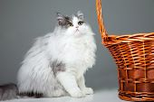 Portrait of young beautiful gray and white persian cat sitting near basket on grey background poster