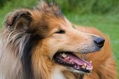 Close-up portrait of a beautiful rough collie dog poster