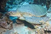A large green sea turtle resting on the seabed next to a coral reef poster