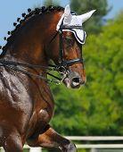 Equestrian sport - dressage / head of bay horse poster