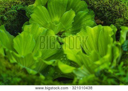 Water Lettuce, Pistia Stratiotes Linnaeus Areceae. Floating Water Plant Close Up Shot