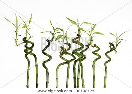 Lucky bamboo plant (Dracaena sanderiana) against white background