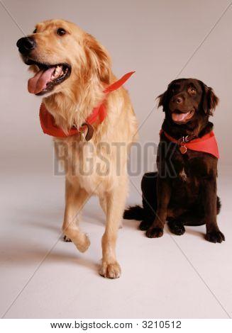 Retriever Dogs