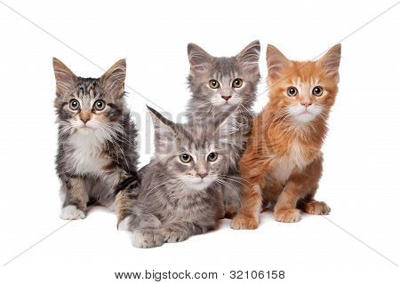 Maine Coon kittens in front of a white background poster