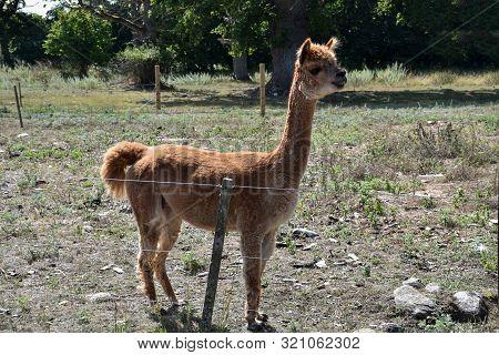 Cute Brown Alpaca Standing In A Pastureland