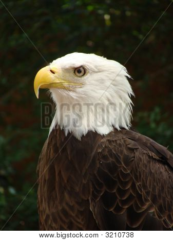 American Bald Eagle left profile tight view of head with some body poster