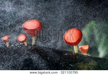 Fungi Cup Red Mushroom Champagne Cup Or Pink Burn Cup,tarzetta Rosea ( Rea) Dennis (pyronemataceae)