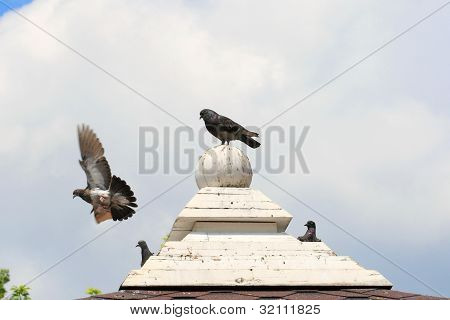 Pigeons on the roof top