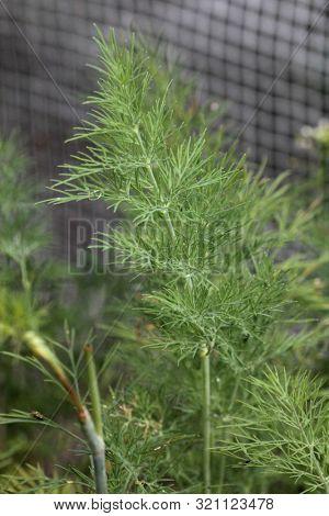 Green fresh dill on a garden bed