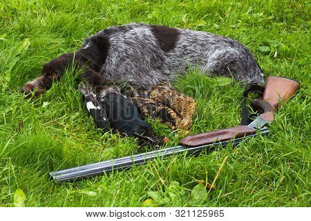 gundog, shotgun and hunting trophies (three downed grouse) lie on the green grass poster