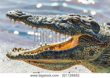 Closeup Of Resting Nile Crocodile With Opened Mouth Showing Teeth In Chobe River, Botswana Safari Wi