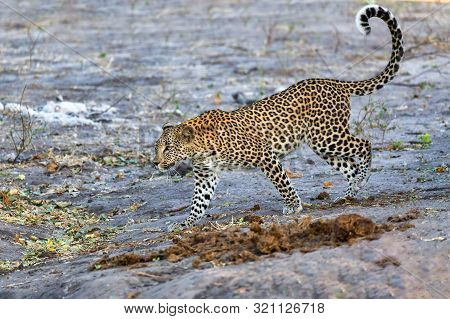 Beautiful Cat, South African Leopard On Bank Of River Chobe, Panthera Pardus, Chobe National Park, B