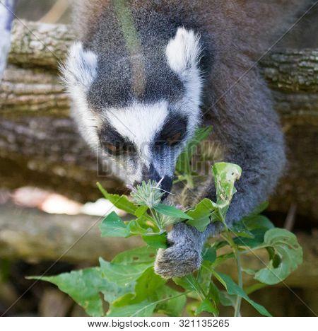 Ring Tailed Lemur, Lemur Catta, Madagascar, Africa