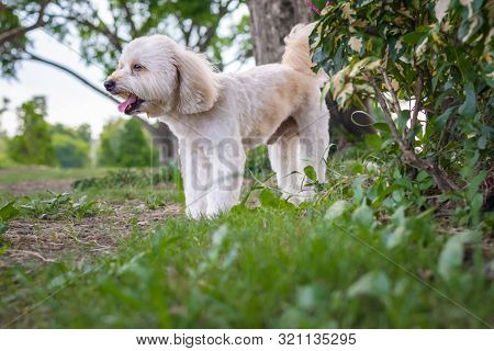 Puppy Poodle Dog, Cute White Poodle Dog On Green Park Background, Background Nature, Green, Animal,
