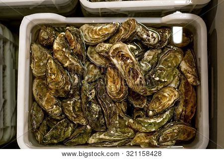 Oyster Shuck And Oysters In Boxes With Water, Processing Of Oysters On Farm. Concept Of Delicacies,
