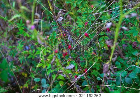 Close-up On A Rosehip Bush With Red Berries And Green Leaves. Natural Treatments. Health And Medicin