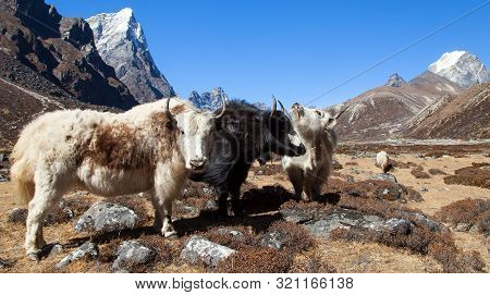 Yak, Group Of Three Yaks On The Way To Everest Base Camp, Nepal Himalayas Mountains. Yak Is Farm And