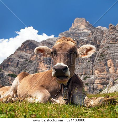 Cow (bos Taurus) On Mountain Laying On Meadow With Bell Near Monte Pelmo, Dolomites, Italy
