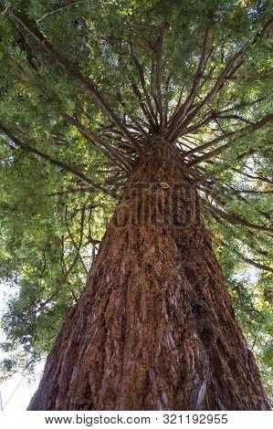 Coast Redwood (coastal Redwood, California Redwood). Over 70 Years Old Evergreen Redwood Specimen. L