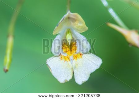The Macro Or Closeup Shot Of The White And Yellow Forest Flower With The Stamens, Pestles And Blades