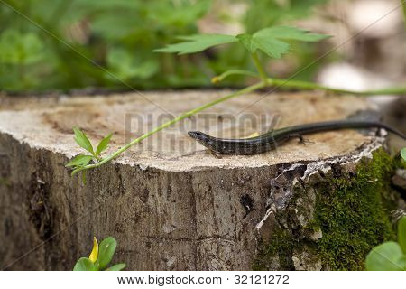 A macro shot of a Five-lined skink (Eumeces fasciatus). poster