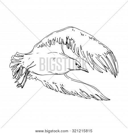 Vector Sky Bird Seagull In A Wildlife. Black And White Engraved Ink Art. Isolated Seagull Illustrati