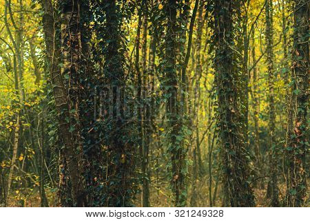 Forest Trees Covered With Ivy. Autumny Forest. Autumny Mood. Fall Background. Fall Wallpaper.