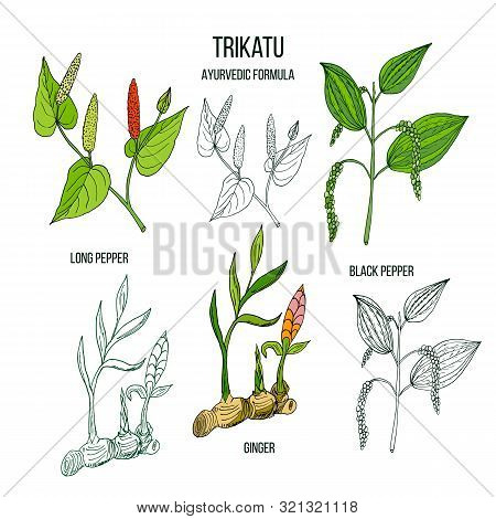 Ayurvedic Herbal Remedy Formula Trikatu With Three Herbs Black Pepper, Long Pepper And Ginger. Vecto