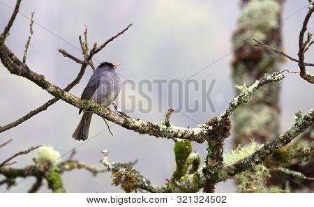 Madagascar Bulbul (hypsipetes Madagascariensis) Sitting In A Tree, Rain