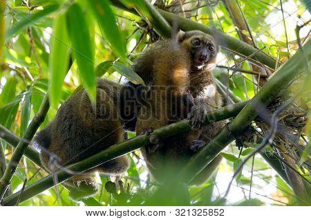 Common Brown Lemur (eulemur Fulvus Fulvus), Madagascar