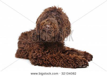 Brown Labradoodle