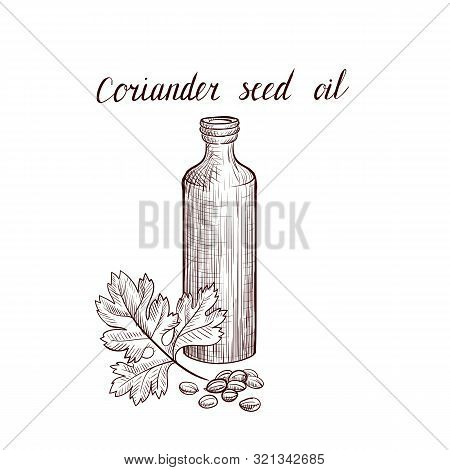 Vector Drawing Coriander Seed Oil, Bottle Of Vegetable Oil And Coriander Leaf And Seeds, Hand Drawn