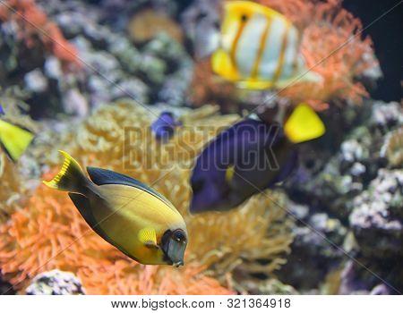 Coral Fish Palette Surgeonfish In Aquarium, Close Up