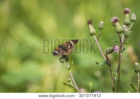Common Buckeye Butterfly, Junonia Coenia, Feeds On A Field Filled With Spotted Knapweed On A Summer