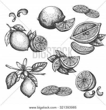 Vector Hand Drawn Lime Or Lemon Set. Blossom Plant With Leaves Sliced Lemons Sketch Lemon Isotated O