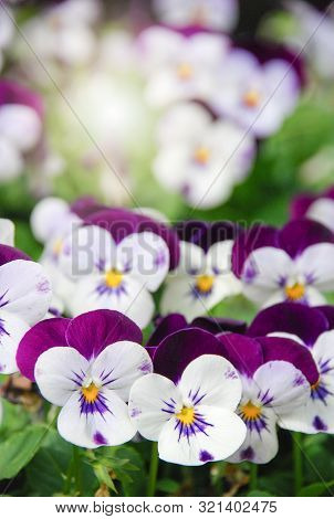 Heartsease (viola) Or Violet. Viola Is A Genus Of Flowering Plants In The Violet Family Violaceae.