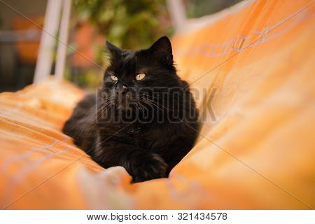 Image - Portrait of Black Chantilly cat lying and yawning on the blanket and posing to camera. Lazy and sleepy dark tomcat chilling in the garden. Cute cat resting between the blanket and rug. poster
