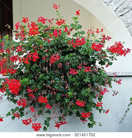 Red Geranium Flower . Pelargonium Is A Genus Of Flowering Plants Which Includes About 200 Species Of