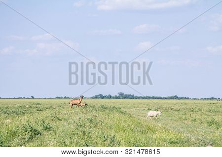 Herd Of Goats Walking And Jumping In The Middle Of A Pasture Field Full Of Green Grass, In Summer, I