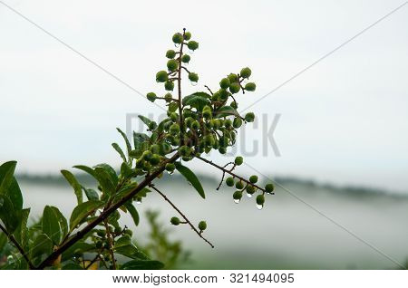 Close-up To Twig Of A Privet Hedge With Rain Drops On Green Berries With Gray Sky In Background