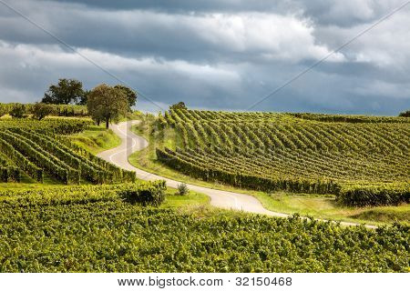 Famous wine route in Alsace France offers this view on a curving road through the vineyards near Riquewihr