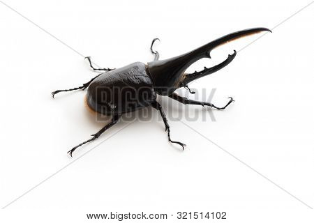 Hercules beetle  (Dynastes hercules, Dynastinae)  isolated on white. Elytra section (hard outer wing shell ) turns to darker color in high humidity.