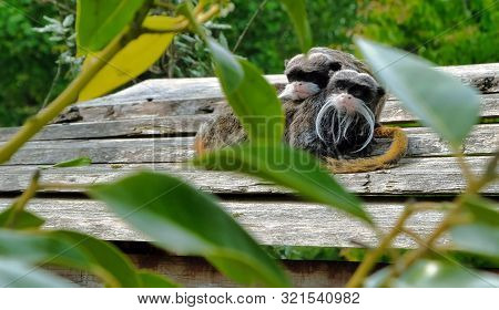 Closeup Portrait Of A Emperor Tamarin Saguinus Imperator, Primate In A Tree On A Bright, Vibrant And